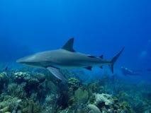 游泳在惊人的礁石的加勒比礁石鲨鱼在Cuba& x27; s Jardin de la Reina 免版税库存图片