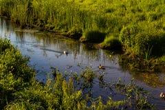 游泳在投向池塘的The Creek的三只鸭子 免版税图库摄影