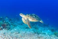 游泳在损坏的珊瑚礁的绿海龟 免版税图库摄影