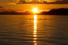 游泳在日落的鹅家庭  免版税库存图片
