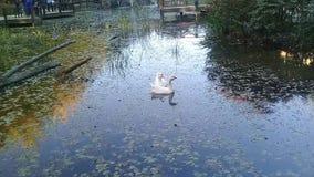 游泳在有五颜六色的树叶子可爱的风景的一个湖的野鸭  股票录像
