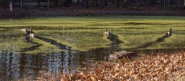 游泳在有离开足迹的海藻的池塘的四只鸭子 免版税库存照片