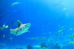 游泳在有轻潜水员的乔治亚水族馆美国的鲨鱼和海生物坦克的 库存照片