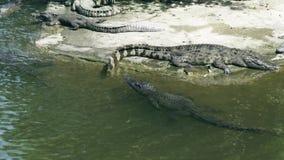 游泳在水中和基于岸的鳄鱼在鳄鱼农场 繁殖的野生鳄鱼和掠食性爬行动物 股票视频