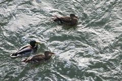 游泳在水中的三只鸭子 库存图片