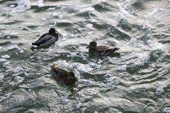 游泳在水中的三只鸭子 免版税图库摄影