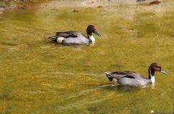 游泳在水中的两只棕色鸭子 库存照片