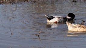 游泳在水坑的大家养的鸭子 股票视频