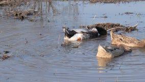 游泳在水坑的大家养的鸭子 股票录像
