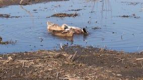 游泳在水坑的大家养的鸭子 影视素材