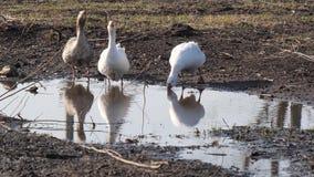 游泳在水坑的家养的大鹅 股票视频