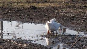 游泳在水坑的家养的大鹅 股票录像