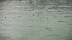 游泳在水缓慢的mo的鸭子 股票录像