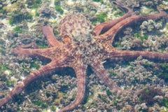 游泳在水面下在低海底的章鱼 库存图片