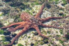 游泳在水面下在低海底的章鱼 免版税图库摄影