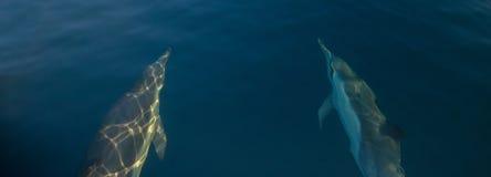 游泳在水面下在圣芭卜拉附近的两只共同的bottlenosed海豚在离加利福尼亚海岸的附近在美国 免版税库存图片