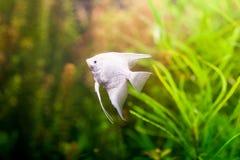 游泳在水面下在新鲜的水族馆的神仙鱼scalare 库存图片