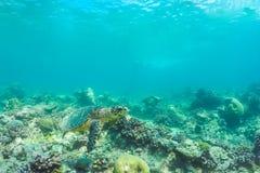游泳在水面下在阳光下的美丽的海龟在蓝色海在马尔代夫 库存照片