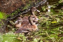 游泳在池塘一边的三只棕色用羽毛装饰的母鸭子 库存照片