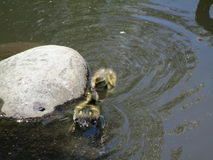 游泳在池塘水中的鸭子 库存图片