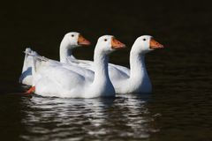 游泳在池塘的三只白色家养的鹅 库存图片