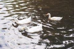 游泳在池塘的三只白色鸭子在日出 免版税库存图片