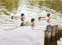 游泳在池塘的三只鸭子 库存图片