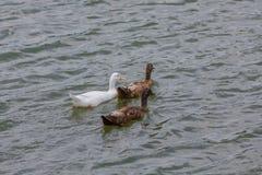 游泳在池塘的三只鸭子 库存照片
