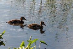 游泳在池塘的两只幼小鸭子在破晓 库存图片