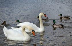 游泳在池塘的两只白色天鹅 免版税图库摄影
