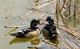 游泳在池塘的两只野鸭 免版税库存照片