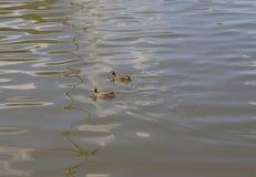 游泳在池塘的两只鸭子 库存照片