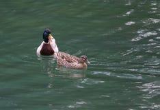 游泳在池塘的两只鸭子 免版税库存图片