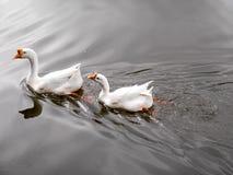 游泳在池塘的两只鸭子 库存图片