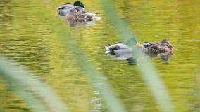 游泳在池塘的公和母鸭子 影视素材
