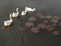 游泳在池塘的四只鸭子 免版税库存照片