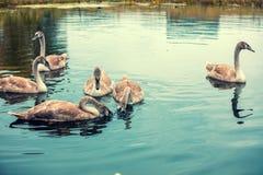 游泳在池塘的幼小天鹅 库存照片