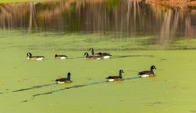 游泳在池塘的鸭子盖用海藻 免版税库存照片