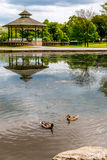 游泳在池塘的鸭子 库存照片
