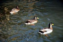 游泳在池塘,自然图象的三只鸭子 免版税库存图片