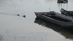 游泳在河和休息在一艘老河船的阴影的河鸟(鸭子) 股票视频
