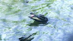 游泳在河水的鳄鱼 关闭游泳在池塘的哺养的鳄鱼在鳄鱼农场 影视素材