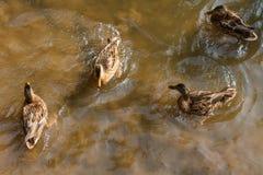 游泳在河的一个小组棕色鸭子 库存图片