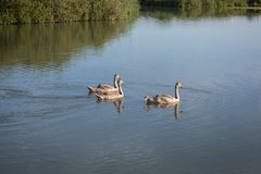 游泳在河的三只灰色鸭子 免版税库存照片
