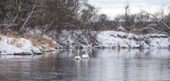 游泳在河的白色天鹅一对美好的夫妇在冬天 库存图片