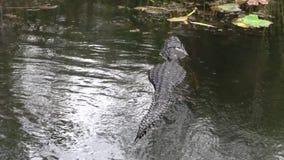 游泳在沼泽地的水的中鳄鱼 股票视频