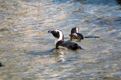 游泳在浅清楚的水中的公驴企鹅 库存照片
