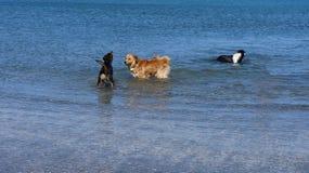 游泳在海的小组狗 免版税图库摄影