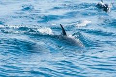 游泳在海的海豚 免版税库存图片