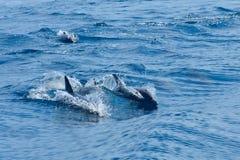 游泳在海运的海豚 库存照片
